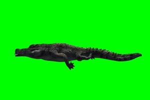 鳄鱼 4 绿屏抠像 特效素材绿布和绿幕视频抠像素材