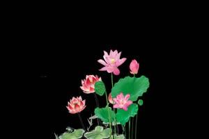 荷花荷叶 莲花 抠像素材