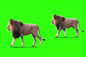 公狮子 绿幕视频 抠像视频下载手机特效图片