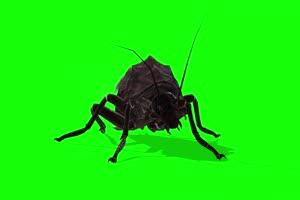 甲虫 昆虫绿幕 绿幕素材 抠像视频 后期特效素材手机特效图片