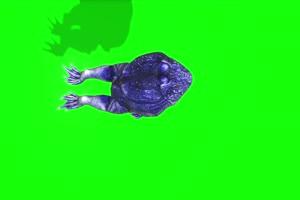 蓝色蟾蜍上面癞蛤蟆 绿幕背景视频 抠像特效视频手机特效图片