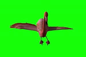 4K 火烈鸟飞前面 绿幕视频素材 绿幕视频素材 动手机特效图片