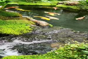 免费手机专用 唯美鱼塘 池塘 美景视频素材49手机特效图片