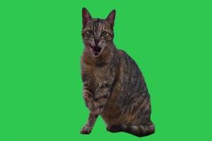 真实猫咪喵星人 绿幕视频 抠像视频下载手机特效图片