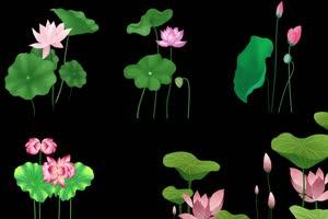 鲜艳的荷花荷叶 莲花 抠像素材 巧影素材 AE抠像手机特效图片
