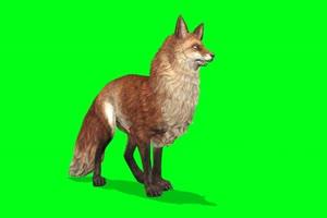 奔跑的红狐狸 绿屏动物 特效视频 抠像视频 巧影手机特效图片