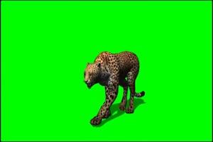 猎豹 1 绿屏抠像 特效素材 免费下载手机特效图片