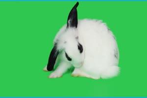 真实兔子 小白2 绿幕视频 抠像视频下载手机特效图片