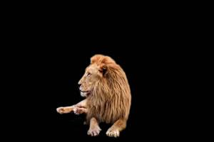 真实狮子 黑幕带通道免扣素材 抠像视频手机特效图片