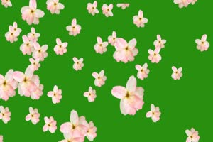 樱桃花 樱花 绿屏抠像素材