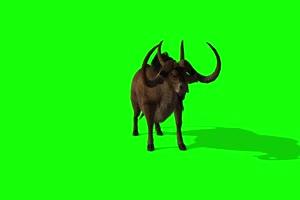 斗牛1 动物绿屏 绿幕视频
