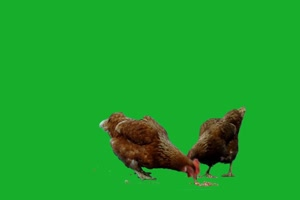 鸡 真实鸡 吃食物 吃鸡 母鸡2 绿屏抠像素材 绿幕