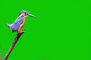 捕鱼鸟绿幕视频素材 动物绿幕 剪映特效素材 特手机特效图片