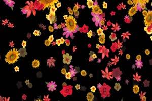 花瓣飘落 免扣像 透明通道绿布和绿幕视频抠像素材