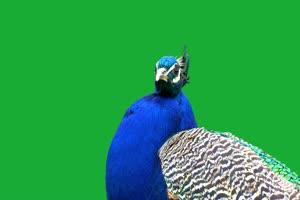 孔雀绿幕视频素材 动物绿幕 剪映特效素材 特效手机特效图片