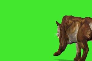 老虎 绿屏动物 特效视频