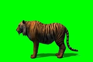 老虎吃东西 1绿屏素材 绿绿布和绿幕视频抠像素材