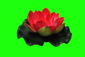 莲花 荷花 绿屏抠像素材绿布和绿幕视频抠像素材